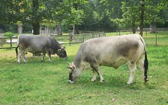 collectible cows (with horns!) (Riex) Tags: cows vaches ruminants stock bétail animal sauvabelin lausanne switzerland g9x