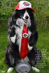 Please give generously for the starving (ASHA THE BORDER COLLiE) Tags: red nose day comic relief funny dog picture border collie quote starving diet white lie ashathestarofcountydown connie kells county down photography
