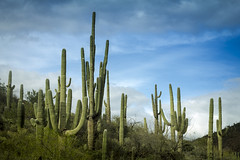 Sonoran Desert Landscape (Ed Cheremet) Tags: arizona canon60d cavecreek cavecreekarizona edcheremet phoenixarizona phonixarizona sonorandesert spurcrossranchconservationarea clouds desert fineartamerica landscape phoenix saguaro saguarocactus storm