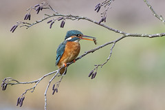Kingfisher (Alcedo atthis) (phil winter) Tags: kingfisher alcedoatthis alder aldercatkins dragonflylarvae