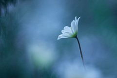 Purity (Janette Paltian) Tags: canon 6dii janettepaltian trioplan 100mm meyergörlitz buschwindröschen anemonenemorosa anemone spring frühling blue white flower garden garten natur single soft bokeh dof