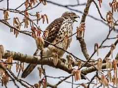 Habicht, Jungvogel, J06, in der Balz (cfowallburg) Tags: accipitergentilis accipitridae accipitriformes habicht greifvogel