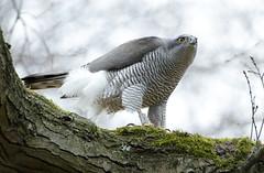 Wild Goshawk (Paul Miguel) Tags: goshawk bird germany wildlife raptor birdofprey accipitergentilis