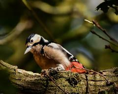 Woodpecker F00606 Burton Mere RSPB D210bob DSC_5248 (D210bob) Tags: woodpecker f00606 burtonmererspb d210bob dsc5248 nikond7200 birdphotography birdphotos naturephotography naturephotos nikon wildlifephotography rspb nikon200500f56
