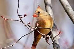 Pretty Female Northern Cardinal (Anne Ahearne) Tags: wild bird animal nature wildlife cardinal tree bokeh northerncardinal songbird birdwatching