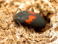 Fancy Teneb (treegrow) Tags: rockcreekpark washingtondc nature lifeonearth raynoxdcr250 arthropoda insect glendening maryland beetle coleoptera platydemaellipticum tenebrionidae