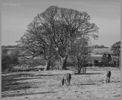 Horse's DSC_2720 (dark-dave) Tags: horses equine scotland tree blackwhite