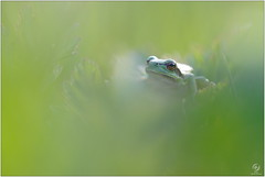 Rainette verte - European tree frog (Hyla arborea) (Man - Photo Nature) Tags: rainette rainetteverte ranita frog treefrog europeantreefrog hylaarborea amphibians amphibien amphibia macro macrophotography photonature