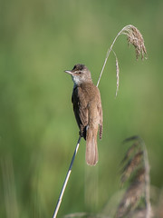 Great reed warbler (JS_71) Tags: nature wildlife nikon photography outdoor 500mm bird new spring see natur pose moment outside animal flickr colour poland sunshine beak feather nikkor wildbirds planet global national wing eye watcher