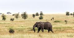 AFRICAN ELEPHANT 6 (Nigel Bewley) Tags: tanzania africa wildlife nature wildlifephotography nigelbewley photologo appicoftheweek africanelephant loxodontaafricana maswagamereserve march march2019 safari gamedrive