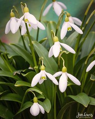 Snowdrops (jklewis4) Tags: macro snowdrops dainty dangle flower spring white