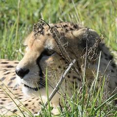 Cheetah (MJ Harbey) Tags: cheetah zsl whipsnade zoo zslwhipsnade whipsnadezoo zslwhipsnadezoo bedfordshire animal mammal carnivora felidae acinonyxjubatus nikon d3300 nikond3300