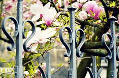 _fence in spRing (SpitMcGee) Tags: hff happyfencefriday magnolie lieblingsbaum öcher aachener dom münsterplatz fence zaun spitmcgee explore 26