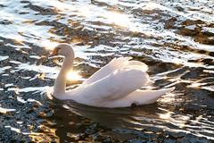 Light reflections (evisdotter) Tags: light reflections speglingar sunsetlight swan svan bird fågel water evening paterns texture mönster nature sooc spring coth5