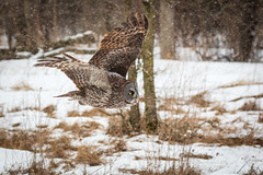 Great Grey owl in flight during snowstorm (dwb838) Tags: snow tree flight greatgreyowl ngc