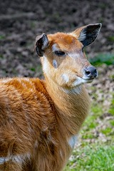 West African Sitatunga (Female) (nickym6274) Tags: chesterzoo chester cheshire uk zoo animal westafricansitatunga sitatunga femalesitatunga antelope westafrica