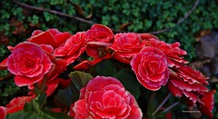 Flores de abril - serie 2_ (Aprehendiz-Ana Lía) Tags: flickr flores nikon bellas nature naturaleza argentina imagen exterior jardín luz rosa color pétalos frágil poema