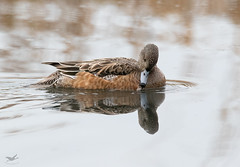 American Wigeon, Female I (dennis_plank_nature_photography) Tags: americanwigeon avianphotography ridgefieldnwr birdphotography naturephotography ridgefield wa avian birds home nature