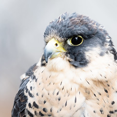 Peregrine Portrait 1 (Gene Mordaunt) Tags: peregrine raptor bird birdofprey ontario nikon810