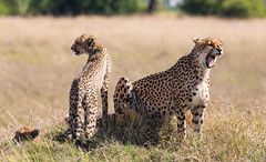 Cheetah with cub (Thomas Retterath) Tags: natur nature safari nopeople 2018 okavangodelta botswana africa afrika mapula thomasretterath wildlife cheetah acinonyxjubatus gepard felidae raubtiere predator carnivore säugetier mammals animals tiere cub