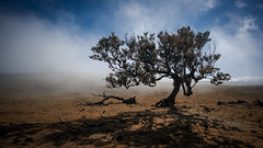 Fanal (Bastian.K) Tags: madeira laurel lorbeer ancient alt old forest wald fog nebel neblig baum tree blue sky himmel contrast zeiss loxia2821 loxia2128 portugal fanal carlzeiss