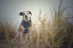 02/52 Edgar (Jutta Bauer) Tags: boxermix dunes january winter beach edgar excellentedgar 52weeksfordogs 52weeksforedgar