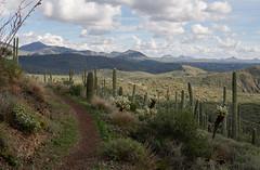 Sonoran Trail (vincentinfante) Tags: hiking hike trail desert arizona sonoran cactus cacti landscape mountains