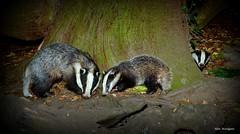Reminder of summer evenings (Alan Woodgate) Tags: badger