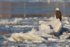 King of the Hill (American Bald Eagle) (Mitch Vanbeekum Photography) Tags: baldeagle bald eagle americanbaldeagle american haliaeetusleucocephalus ice hudsonriver ny newyork mitchvanbeekum mitchvanbeekumcom canon14teleconvertermkiii canoneos1dx canonef500mmf4lisiiusm water perched adult