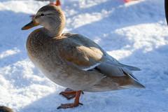 Sinisorsan värimuunnos (TheSaOk) Tags: bird linty lintukuva yleluonto sinisorsa mallar