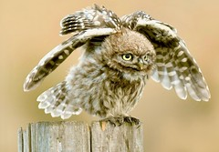Little owl (davy ren2) Tags: little d500 nikon wildlife photograthy nature