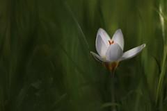 12.30 puntuale! (@5imonapol) Tags: crocus croco flower winter february nature macro