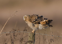Short-eared Owl Asio flammeus ) (Dale Ayres) Tags: shortearded owl asio flammeus bird nature wildlife post wood