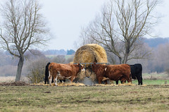 Time For Lunch (Mel Low) Tags: cattle agricultural farm landscape becclesmarsh suffolk nikond7000