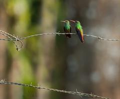 hummy fence (marianna armata) Tags: hummy hummingbird bird barbed wire fence hff costarica mariannaarmata