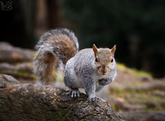 Grigio (Eros Penatti) Tags: monza parcodimonza lombardia italia scoiattologrigio sciuruscarolinensis scoiattolo