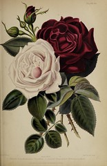 n764_w1150 (BioDivLibrary) Tags: gardening horticulture usdepartmentofagriculturenationalagriculturallibrary bhl:page=57724361 dc:identifier=httpsbiodiversitylibraryorgpage57724361 artist:name=augustainneswithers augustainneswithers hernaturalhistory