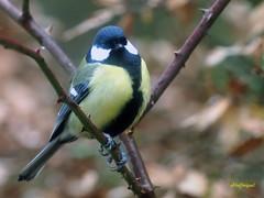 Carbonero común (Parus major) (3) (eb3alfmiguel) Tags: pájaros passeriformes insectívoros paridae carbonero común parus major