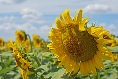Соняшник (ucrainis) Tags: sunflower nature blooming bee insect flower flowers sunny summer