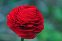 Ranunculus Asiaticus Red (natureloving) Tags: ranunculusasiaticusred flower nature macro flowersinfrance fleursenfrance flowersineurope flowersoffrance flowersofeurope ranunculus natureloving nikon d90 afsvrmicronikkor105mmf28gifed