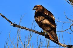 Red-tailed_Hawk_06 (DonBantumPhotography.com) Tags: wildlife nature animals birds donbantumcom donbantumphotographycom redtailedhawk raptor birdsofprey hawk