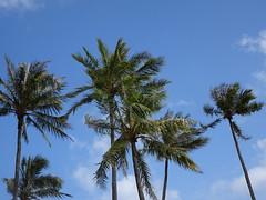 Palm trees wave Aloha (Trinimusic2008 -blessings) Tags: trinimusic2008 judymeikle nature coconuttrees palmtrees sky clouds march 2019 blueskies hanaumabay