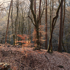 Spring is coming soon (roland_tempels) Tags: forest nature trees sunlight supershot luxembourg scheidgen