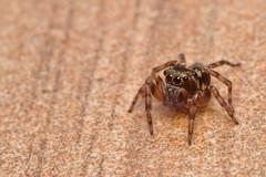 Curiosity (kebspilip) Tags: spider jumping salticidae sigma105mm