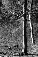 By the Lake (alison's daily photo) Tags: blackandwhite monochrome crazytuesday deadlake delamereforest cheshire