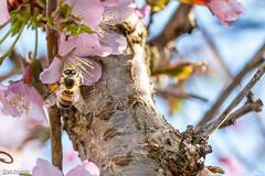 Honey Bee, first day of Spring, 20th March 2109 (Bob Edwards Photography - Picture Liverpool) Tags: honeybee firstdayofspring 20thmarch2109 bobedwardsphotography flowers plant bush branch sunshine bluesky closeup insect pollen