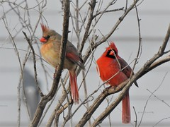 Male and Female Cardinals (Anton Shomali - Thank you for over 2 million views) Tags: female outdoor nature branches male color red cardinal northern macro light outside beauty beautiful black seeds january bird hungry cold season winter midwest snow birds house backyard green yellow white flacks tree food wood nikon coolpix p900
