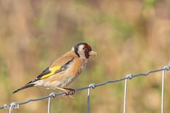 Goldfinch (Renate van den Boom) Tags: 06juni 2018 europa fairburnings grootbrittannië jaar maand northyorkshire putter renatevandenboom vogels yorkshire