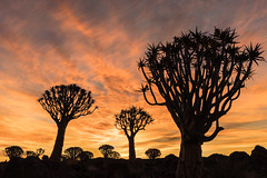 Quiver Tree Forest Quiver Tree Lodge (Rich Dyson Photography) Tags: tree sunset sky nature plant sun landscape silhouette outdoors vegetation evening dusk noperson outdoor naturallandscape naturalenvironment clouds branch woodyplant backlit wildlife namibia africa keetmanshoop