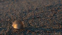 La plume dorée (christian.rey) Tags: plume sable dorée minimalisme plage sony alpha a7r2 a7rii 70200